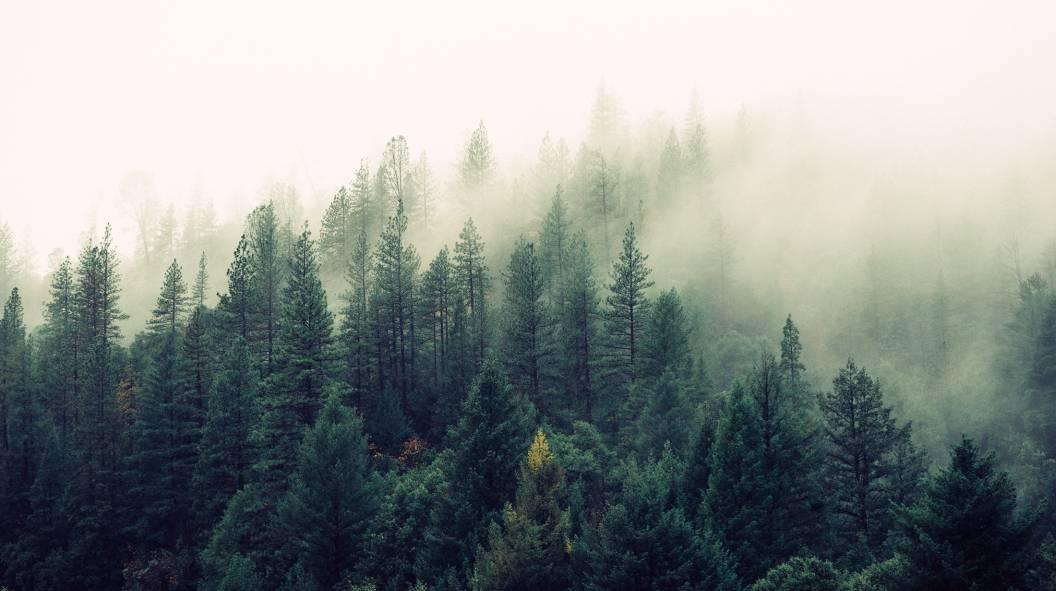 Ein Nadelwald im Nebel.
