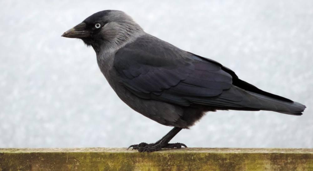 Foto einer Krähe vor weißem Hintergrund.