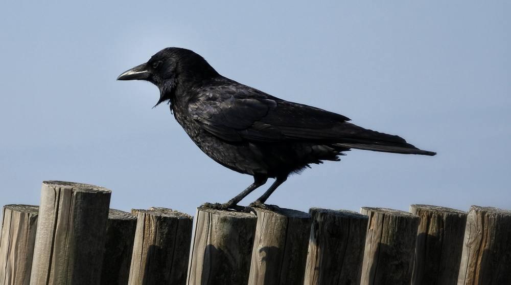 Eine Krähe auf einem Holzlattenzaun