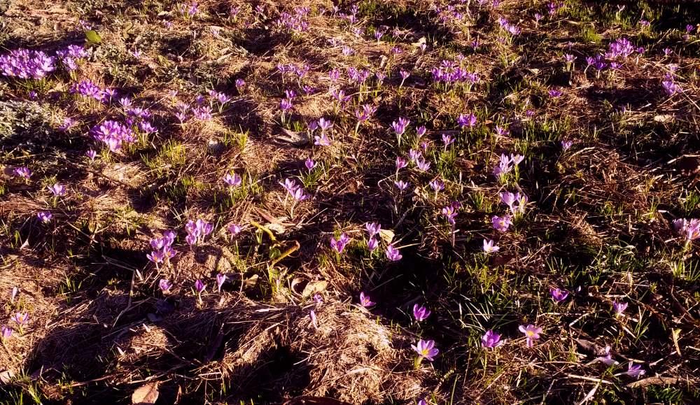 Ein Stück Garten mit vielen violetten Blumen