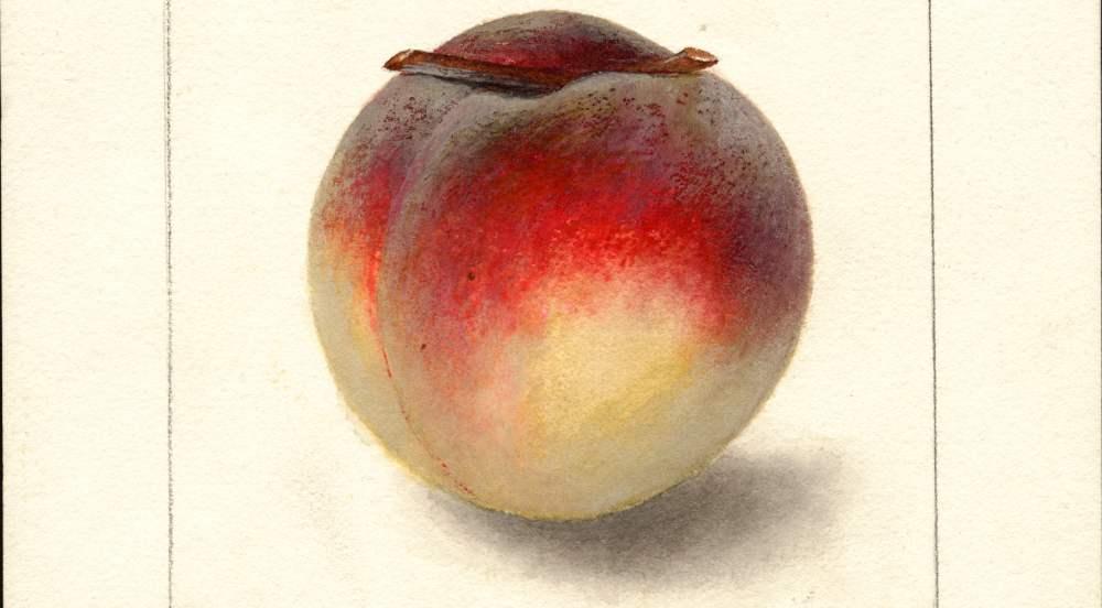 Ein gezeichneter Pfirsich