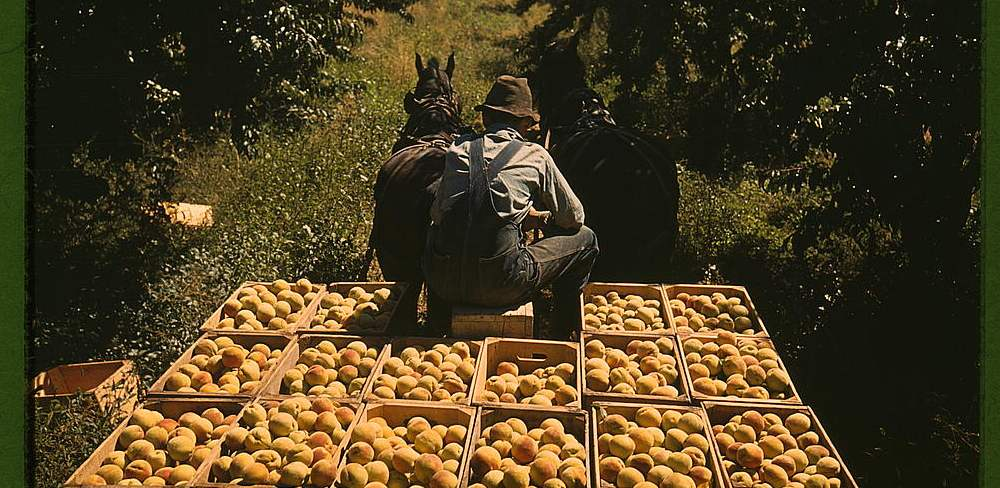 Hauling crates of peaches from the orchard to the shipping shed, Delta County, Colo.