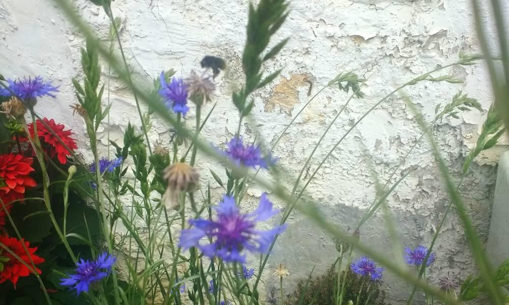 Blumen, vor allem blaue Kornblumen und eine unscharfe dicke Hummel, die vorbeifliegt.