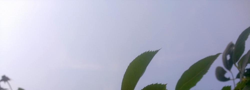 rosenblätter, darüber himmel